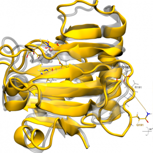 Overlay of representative structures for WT (gray) and R191Q mutant (yellow) forms of ALKBH7. Image Credit: Walker et al.