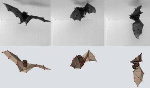 A combination of high-speed videography (top) and computational modelling (bottom) reveals the aerobatic secrets of a Seba's short-tailed bat. Image credit: Attila Bergou