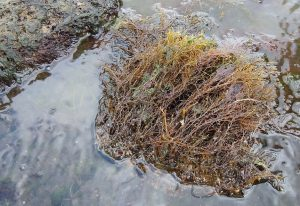The ecologically important seaweed Cytoseira barbata (credit: Yuri Kvach, Wikimedia Commons)
