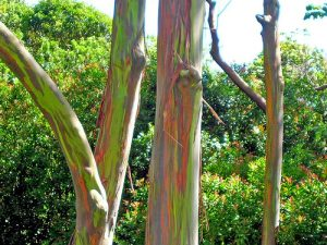 Eucalyptus trees supply one of the antimicrobials tested (Image credit: Eug, Wikimedia Commons.)