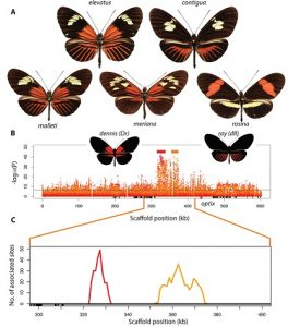 "Varieties of Heliconius with and without the red ""dennis"" patch and rays allowed the genetic mapping of regulatory modules that give rise to them (doi:10.1371/journal.pbio.1002353.g002)"