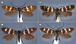 Four species of primitive moth from the genus Micropterix (doi: 10.1371/journal.pone.0139972.g003)