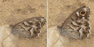 An example of conditional display of forewing eyespots in a species of nymphalid, Hipparchia fidia, before (left panel) and after disturbance (right panel). Image credit: Monteiro et al