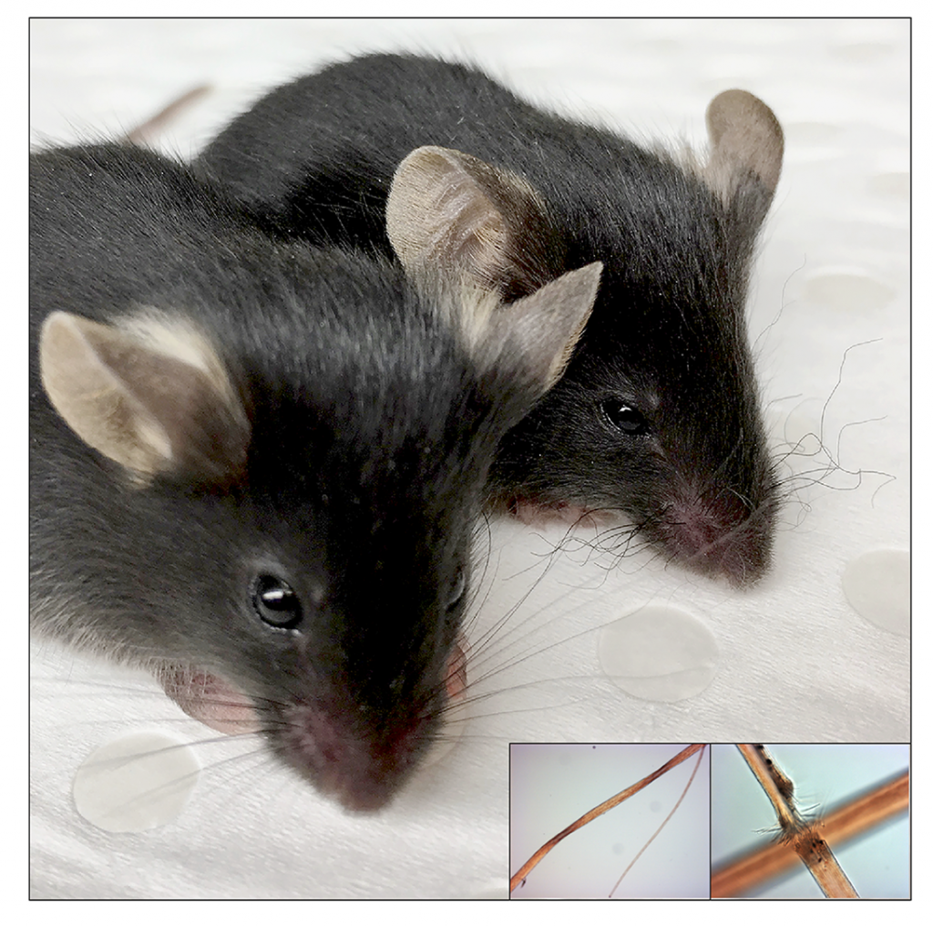 Two mice, one wild type and one with curly whiskers due to a mutation in HEPHL1, with microscope images of hair