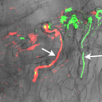 Root hair infection threads (arrows) colonised by M. loti exoU (green) and KAW12 (red). Image credit: Zgadzaj et al.