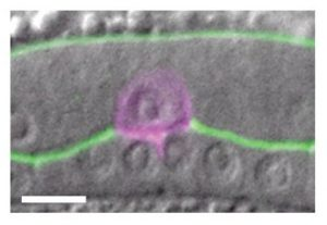 Anchor Cell (AC) invasion in C. elegans. Lohmer, Clay et al.