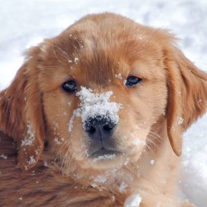 Golden retrievers carry risk haplotypes predisposing to two different cancers. Image credit: Mike Lappin