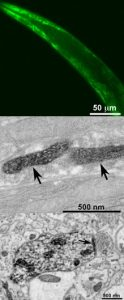 miniSOG stains nematode mitochondria for fluorescent (top) and electron (middle) microscopy. The bottom panel shows a miniSOG-stained mouse brain synapse (Shu et al., PLOS Biology).