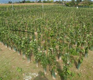 The Colmar experimental vineyard, with Pinot Meunier grapevines grafted onto transgenic rootstocks before anti-GMO activists destroyed all 70 plants.
