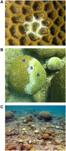 Coral colonies from the genus Favia infected with white-plague disease. Credit:  Zvuloni et al.